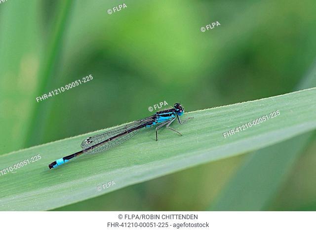 Blue-tailed Damselfly (Ischnura elegans) adult male, resting on leaf, Strumpshaw Fen RSPB Reserve, River Yare, The Broads, Norfolk, England, July