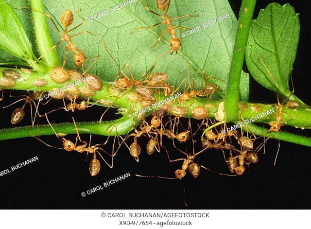 A colony of weaver ants collecting and storing scale insects on leaves for food, Uepi, Solomon Islands