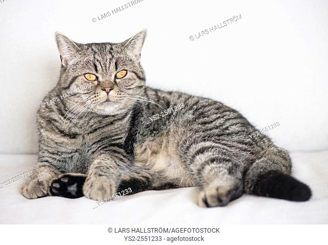Grumpy British shorthair cat lying down on white sofa