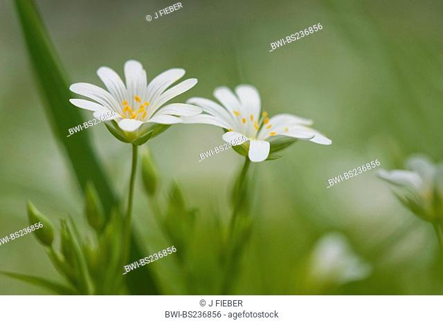 easterbell starwort, greater stitchwort Stellaria holostea, flowers, Germany, Rhineland-Palatinate