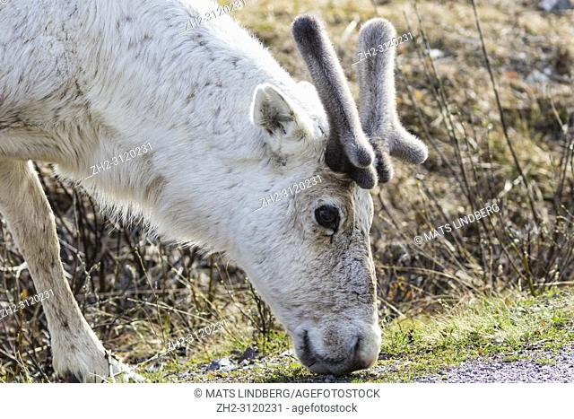 White Reindeer, Rangifer tarandus standing with head down looking for food, Stora sjöfallets national park, Gällivare county, Swedish Lapland, Sweden