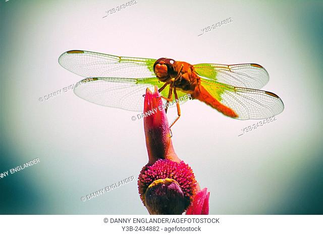 Dragonfly resting on a flower