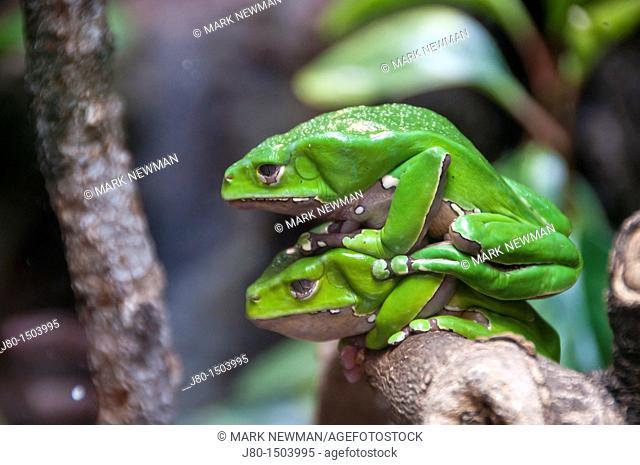 Giant Waxy Monkey Frog (Phyllomedusa bicolor)