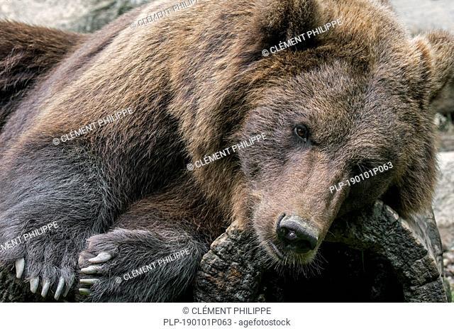 Close up portrait of European brown bear (Ursus arctos arctos) resting on hollow log
