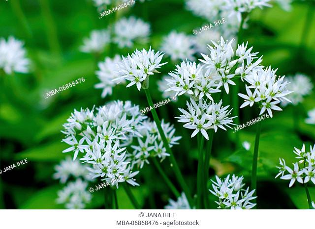 Close-up, wild garlic blossoms in natural surroundings