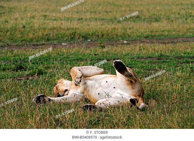 lion (Panthera leo), lys in supine position sleeping, Kenya, Masai Mara National Park