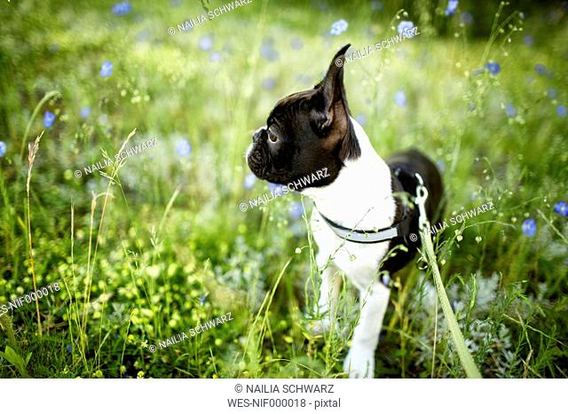 Germany, Rhineland-Palatinate, Boston Terrier, Puppy standing on meadow
