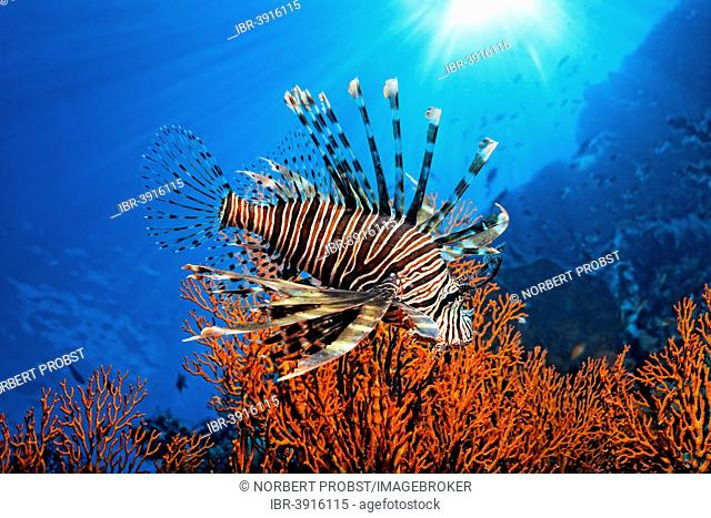 Pacific Red Lionfish (Pterois volitans), Great Barrier Reef, UNESCO World Natural Heritage Site, Pacific Ocean, Queensland, Australia