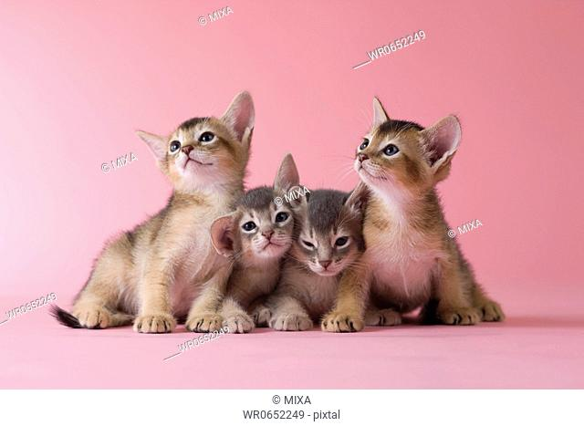 Four Abyssinian Kittens