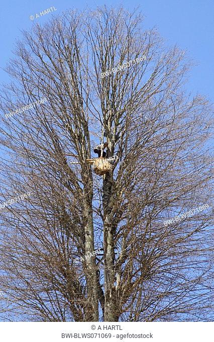brown bear Ursus arctos, beekeeper fitting bear saved beehive in a tree, Turkey, Anatolia, Trabzon