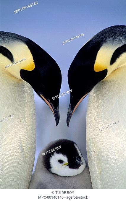 Emperor Penguin (Aptenodytes forsteri) parents greeting chick, Atka Bay, Princess Martha Coast, Weddell Sea, Antarctica