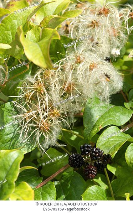 Flowering Vitalba ivy