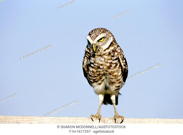 Burrowing owl (Athene cunicularia) looking - no nonsense! Florida, USA