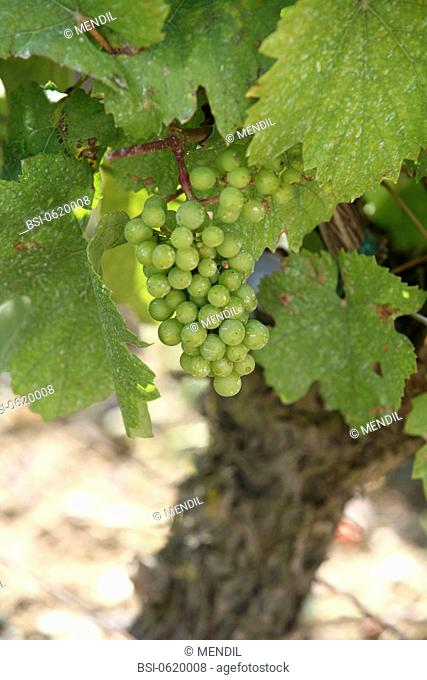 Grapevine Vitis vinifera. Reims Mountain, departement of Marne, France