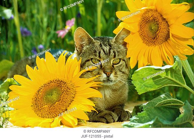 tabby domestic cat - lying between sun flowers