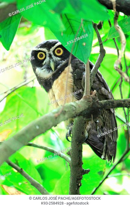 Lechuza de Anteojos (Pulxatrix perspicillata). Parque Nacional de Corcovado, Costa Rica