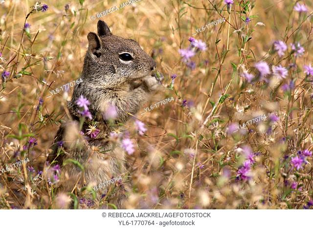 A Belding's ground squirrel munches on flowers in a meadow in Yosemite