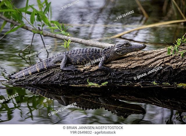 Young Alligator (Alligator Mississippiensis) resting on submerged log in Everglades National Park, Florida, USA
