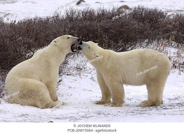 Manitoba, Churchill, young male Polar bears playfighting while waiting for the ice of the Hudson bay to freeze over