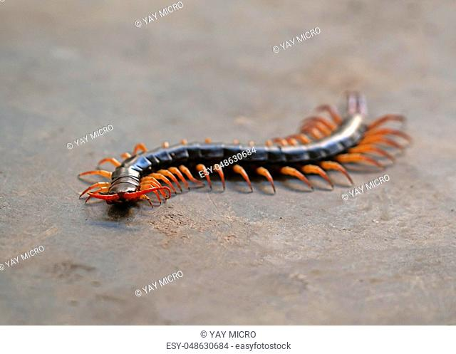 Giant centipede Stock Photos and Images | age fotostock