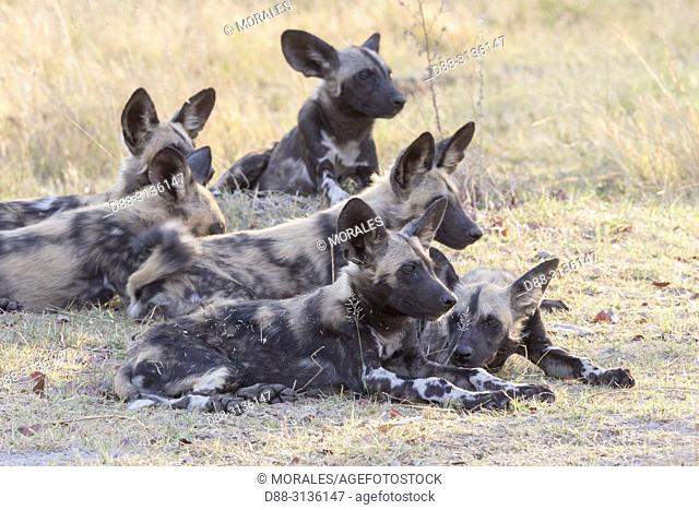 Africa, Southern Africa, Bostwana, Moremi National Park, African wild dog or African hunting dog or African painted dog (Lycaon pictus), group of young animals