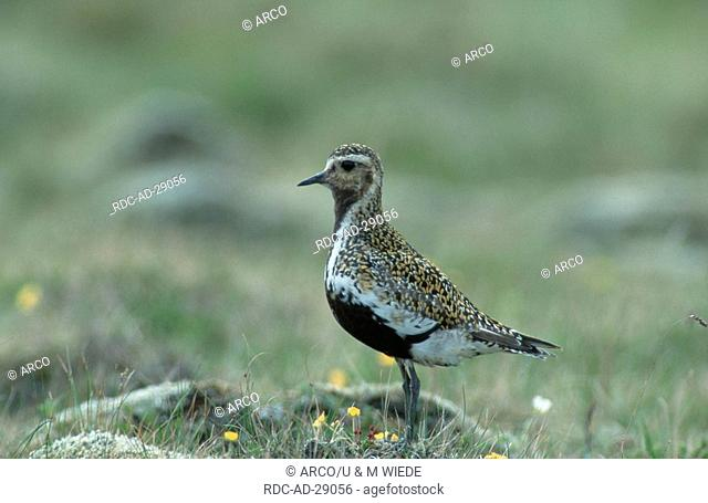 Golden Plover Iceland Pluvialis apricaria /side