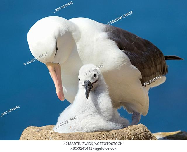 Adult and chick on tower shaped nest. Black-browed albatross or black-browed mollymawk (Thalassarche melanophris). South America, Falkland Islands, January