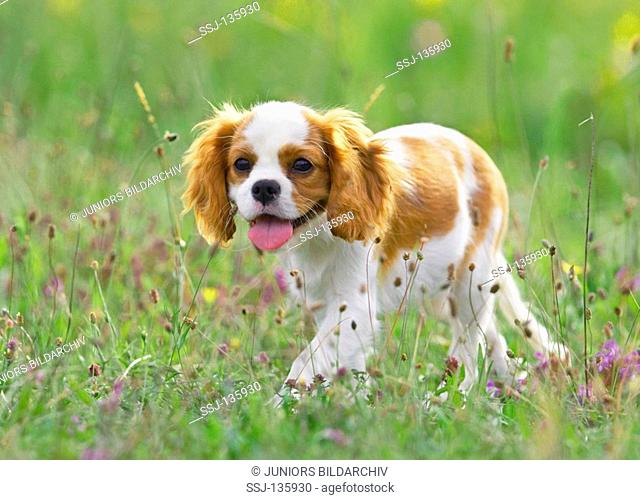 Cavalier King Charles Spaniel puppy on meadow restrictions: Tierratgeber-Bücher / animal guidebooks