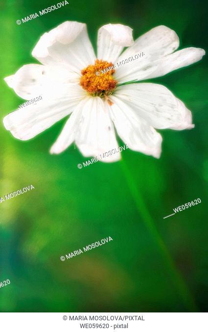 White cosmos flower. Cosmos bipinnatus. August 2006, Maryland, USA