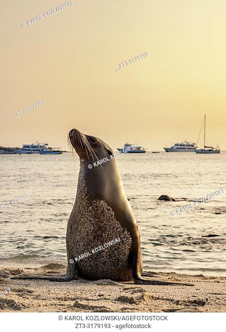 Sea Lion (Zalophus wollebaeki) on Playa Mann at sunset, Puerto Baquerizo Moreno, San Cristobal or Chatham Island, Galapagos, Ecuador