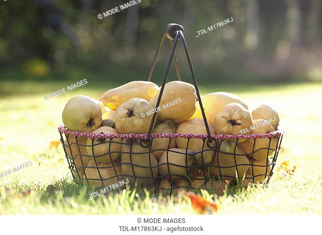 Quince fruit in a basket, Cydonia oblonga