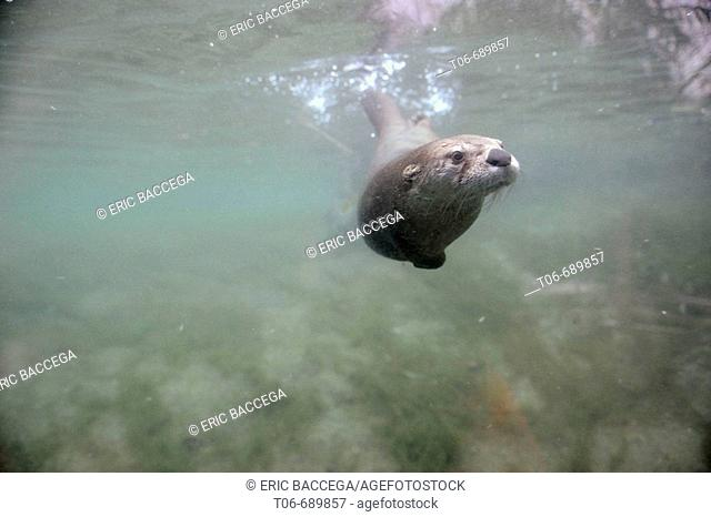 Canadian otter fishing underwater (Lutra canadensis)