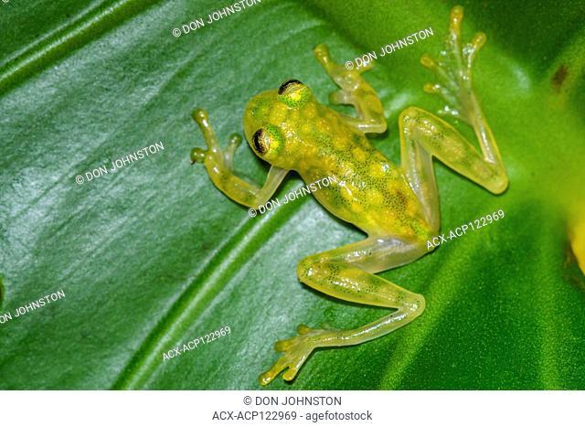La Palma Glass Frog - Hyalinobactrachium valerioi, , , Native to: Costa Rica