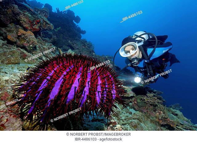 Diver, crown-of-thorns starfish (Acanthaster planci) Indian Ocean, Maldives