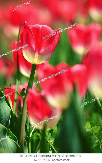 Tulip, Tulipa, Tulpe, Insel Mainau, Isle of Mainau, Konstanz, Germany