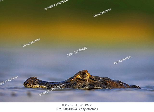 Yacare Caiman, hidden portrait of crocodile in the blue water