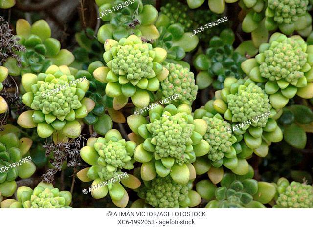 Gomereta plant . Aeonium canarian endemic species plant from Tenerife island