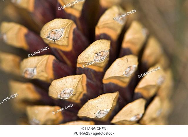 Structure of an hard and dry pine cone