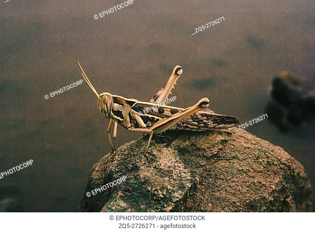 Grasshoppers are usually found in open areas