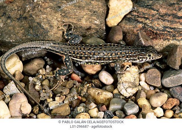 Lizard (Psammodromus algirus)