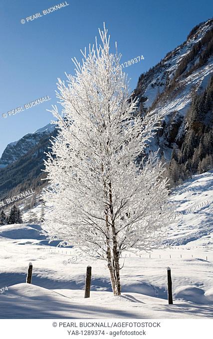 Bucheben Rauriser Sonnen Valley Nationalpark Hohe Tauern Austria Europe  Winter snow scene in Austrian Alps with white foreground tree