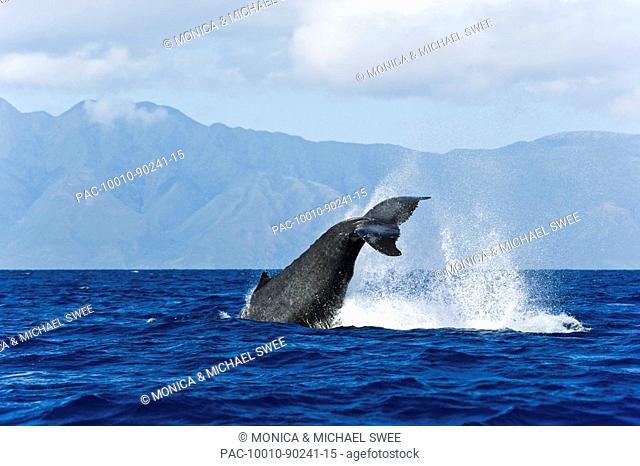 Hawaii, Maui, Humpback Whale Megaptera novaeangliae, Tail fin splashing out of ocean