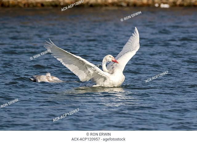 Juvenile Trumpeter Swans (Cygnus buccinator) on Lake Ontario at Bluffer's Park, Toronto, Ontario, Canada - the bright white one without black on its bill is a...