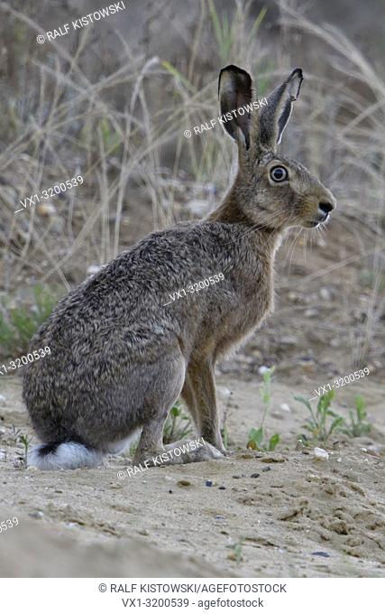Brown Hare / European Hare female adult, sitting in the slope of a sand pit, watching attentively, full body, side view, Europe