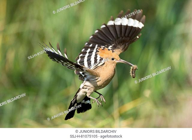 Hoopoe (Upupa epops) with insect in its bill, in flight. Germany