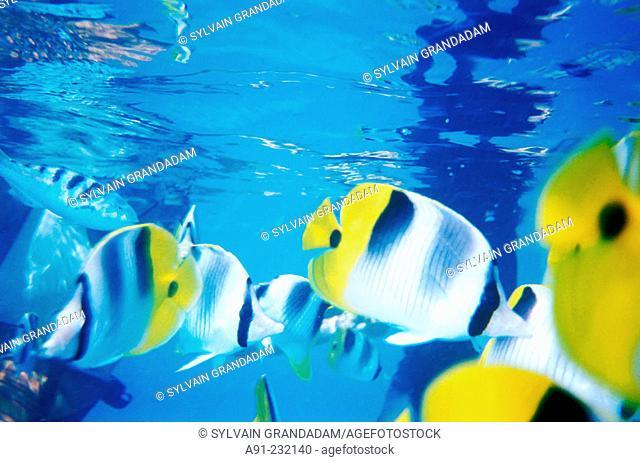 Clownfish in lagoon. Rangiroa Atoll. Tuamotu. French Polynesia