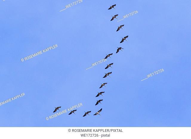 Common cranes into the flight over Homburg