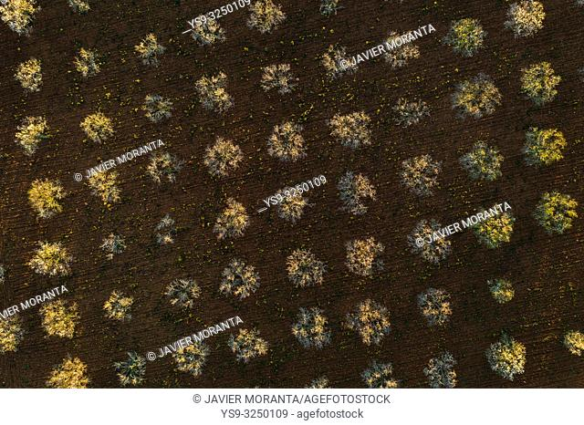 Aerial photo of almond blossoms, Spain, Balearic Islands, Mallorca, Llucmajor