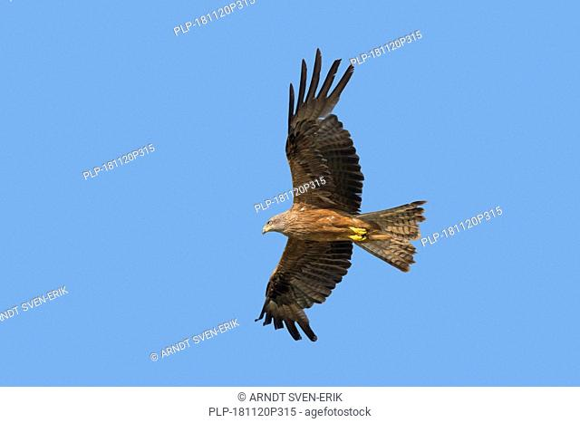 Black kite (Milvus migrans) in flight against blue sky