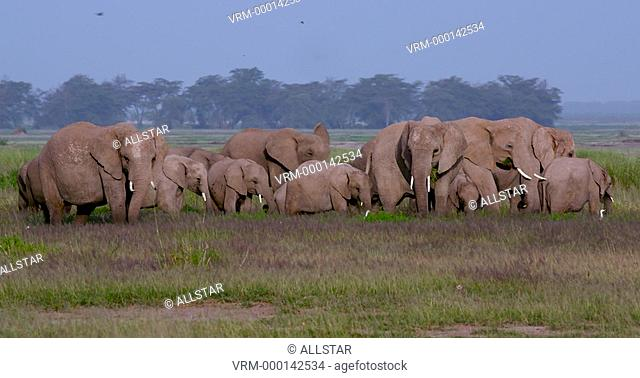 HERD OF AFRICAN ELEPHANTS GRAZING; AMBOSELI, KENYA, AFRICA; 03/02/2016